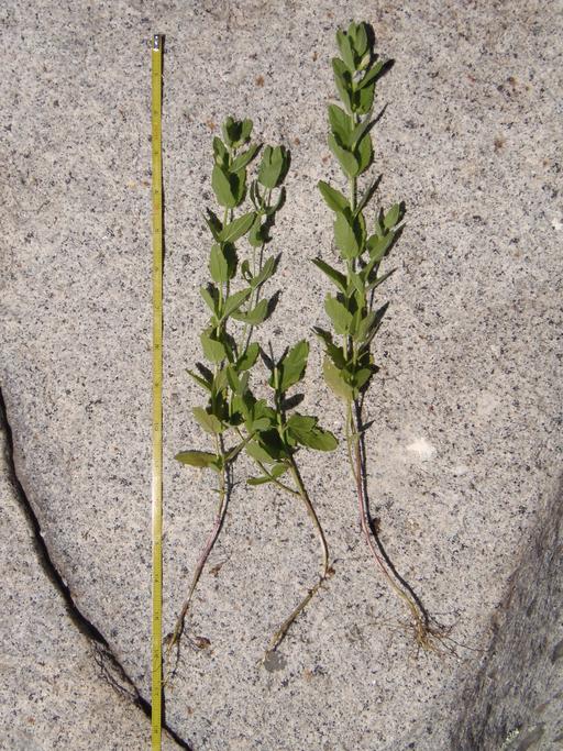 Scutellaria bolanderi ssp. austromontana