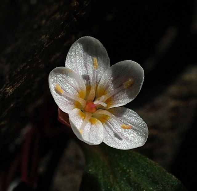 Claytonia umbellata
