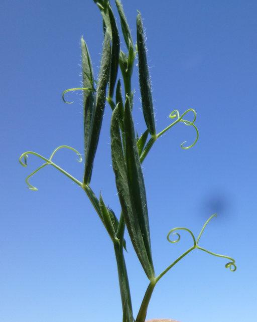 Lathyrus hirsutus