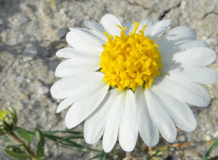 Layia leucopappa