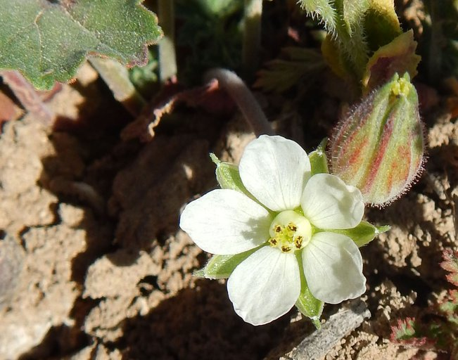 California macrophylla