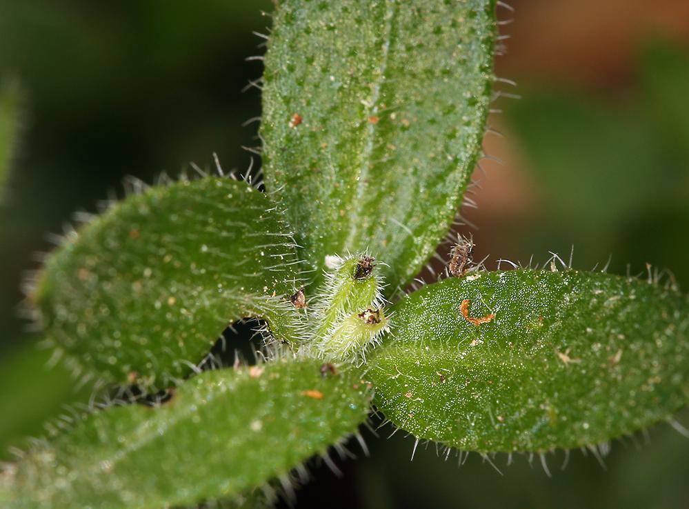 Galium californicum ssp. flaccidum