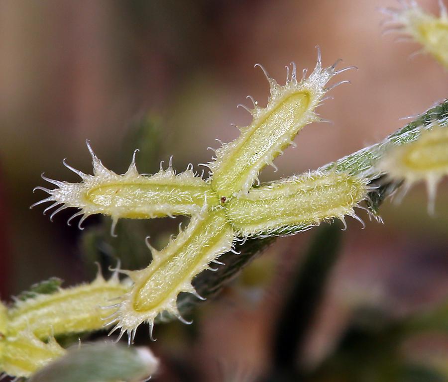 Pectocarya linearis ssp. ferocula