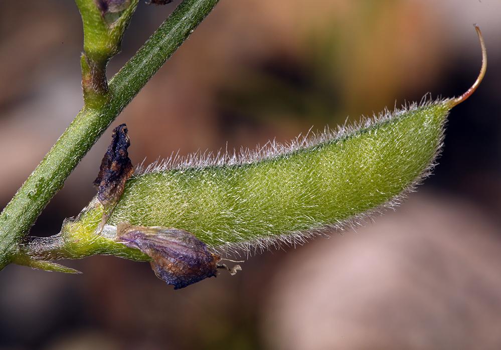 Lupinus truncatus