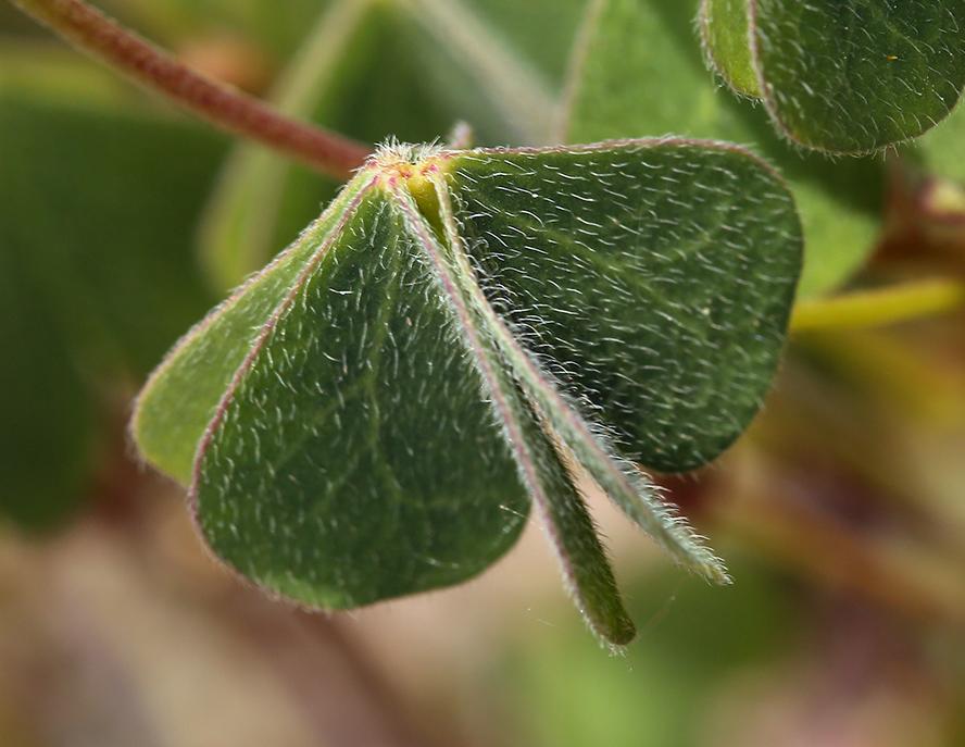 Oxalis californica