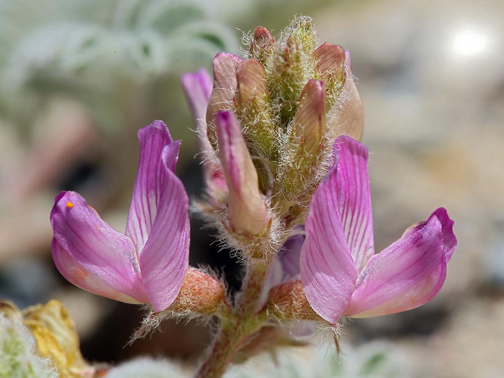 Astragalus pseudiodanthus