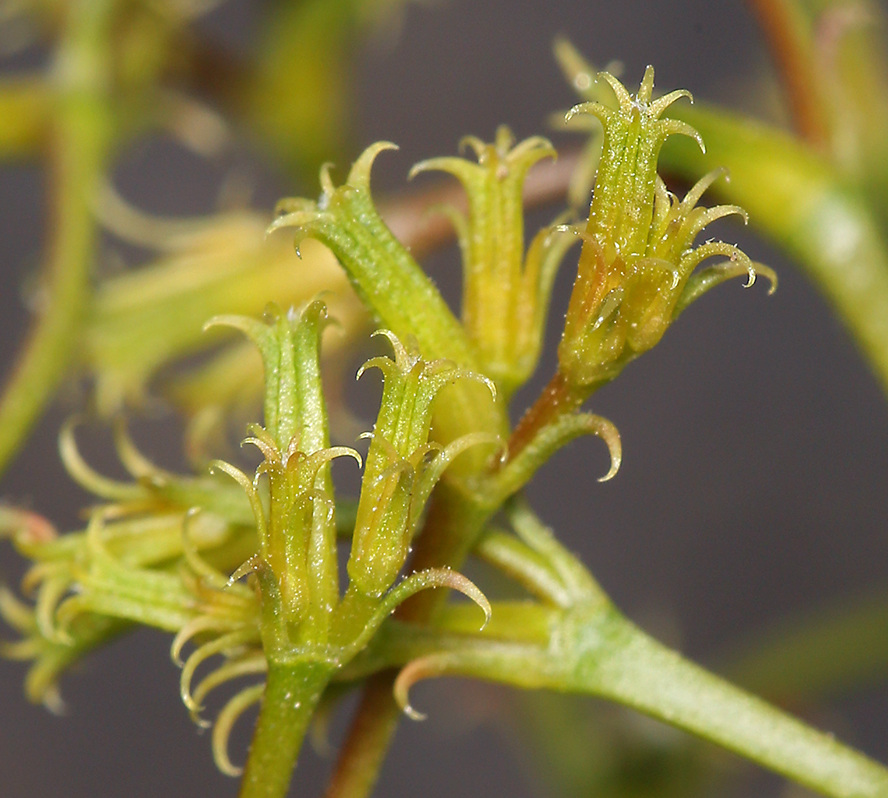 Chorizanthe brevicornu var. spathulata