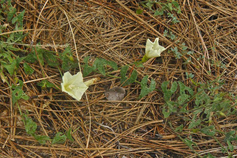 Calystegia occidentalis ssp. fulcrata