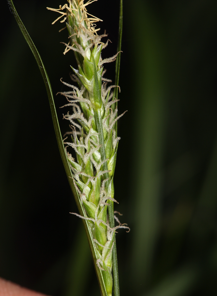 Carex whitneyi