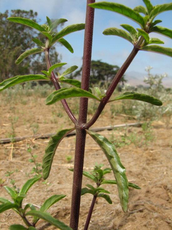 Monardella sinuata ssp. sinuata