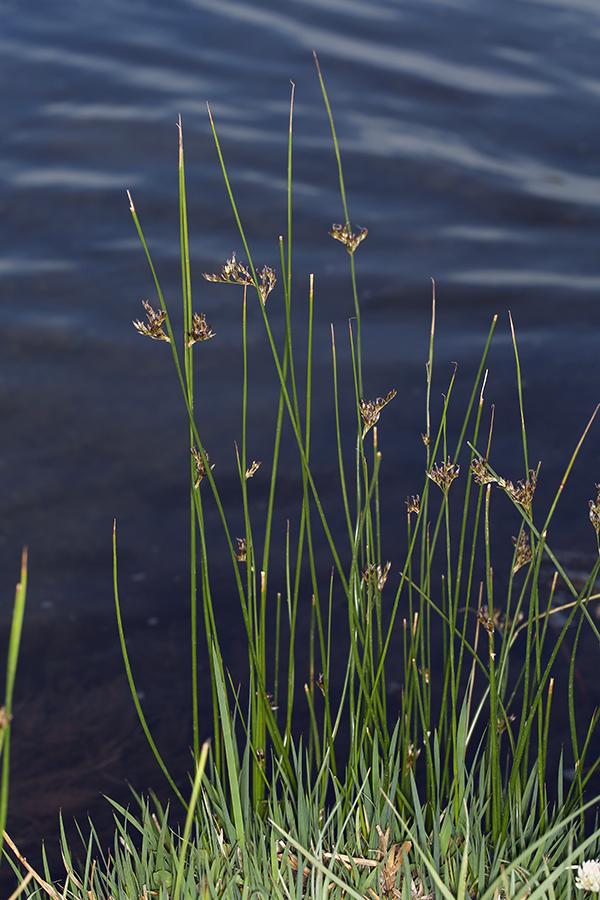 Juncus balticus ssp. ater