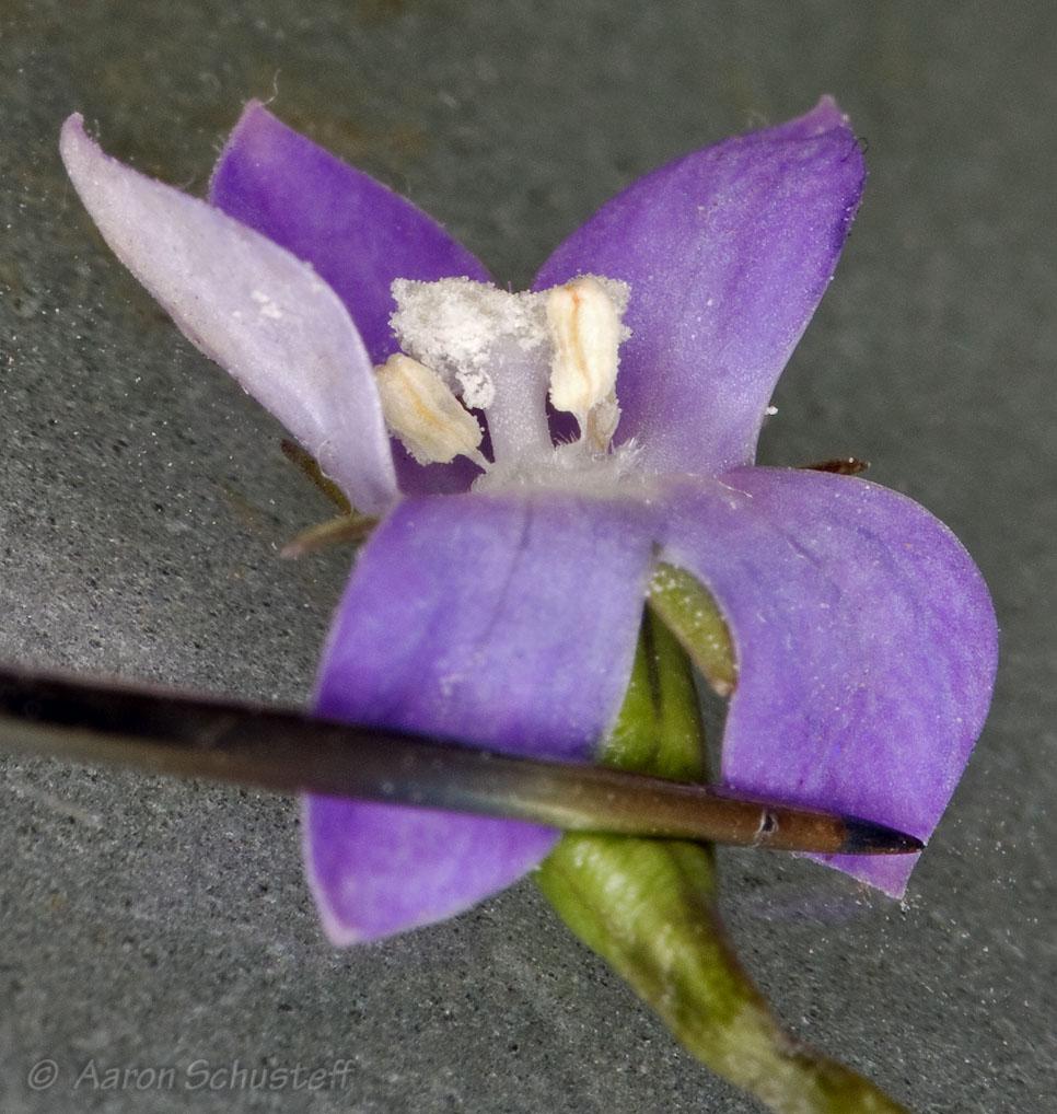 Wahlenbergia marginata