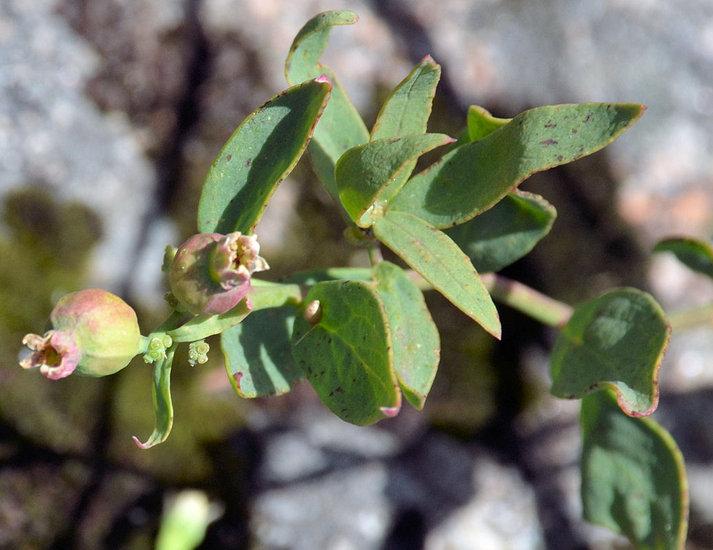 Comandra umbellata ssp. californica