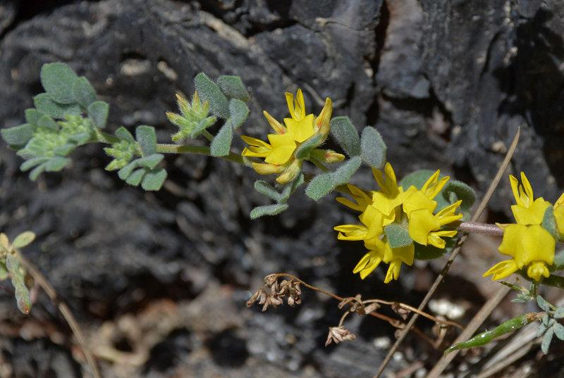 Acmispon nevadensis var. nevadensis