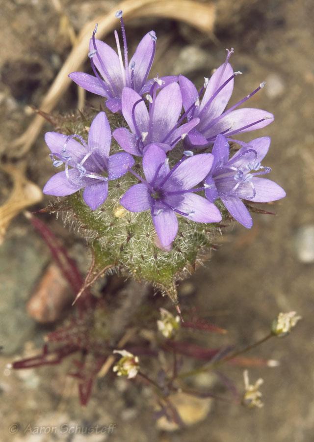 Navarretia heterodoxa