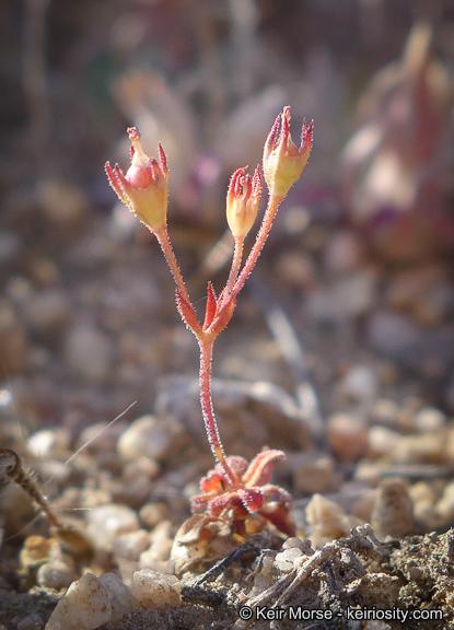 Androsace elongata ssp. acuta
