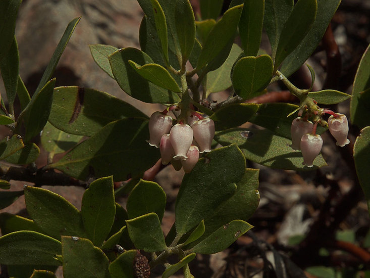 Arctostaphylos nevadensis ssp. nevadensis