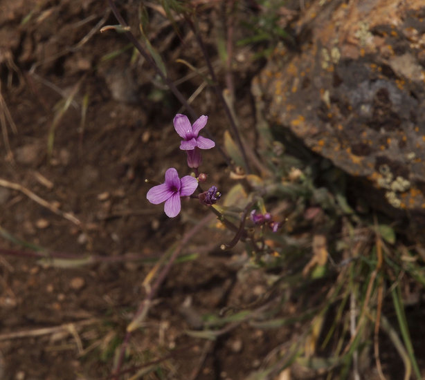 Boechera sparsiflora