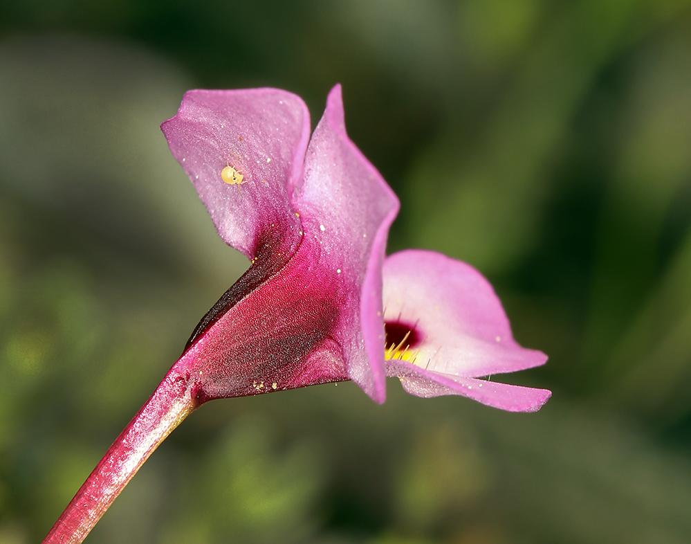 Diplacus angustatus