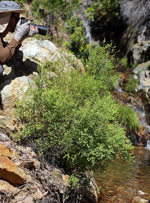 Vaccinium shastense ssp. shastense