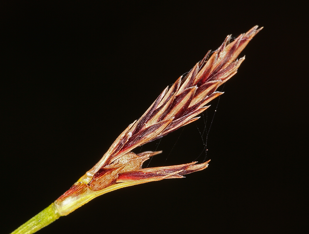Carex xerophila