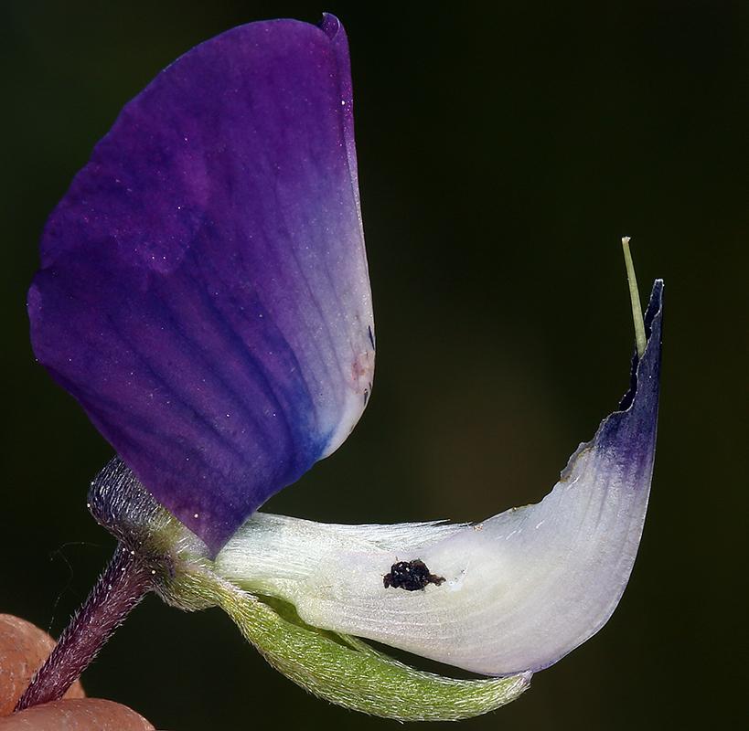 Lupinus rivularis