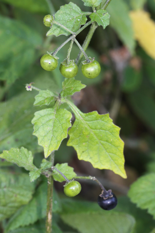Solanum douglasii