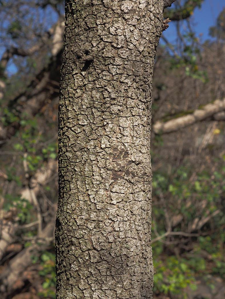 Cercocarpus minutiflorus