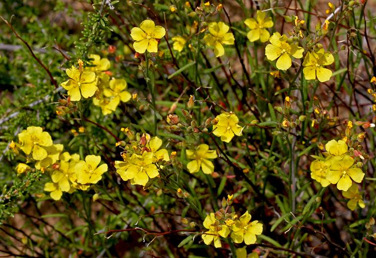 Crocanthemum scoparium var. scoparium