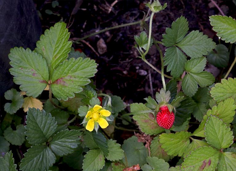 Duchesnea indica var. indica