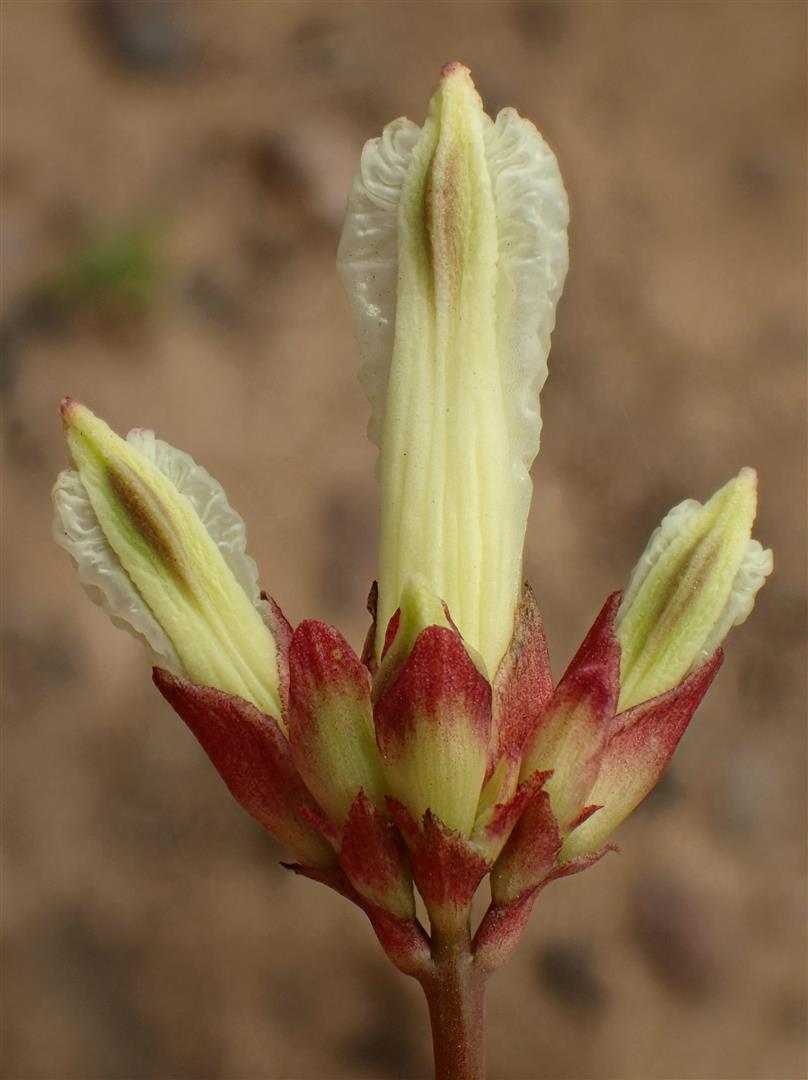 Ehrendorferia ochroleuca