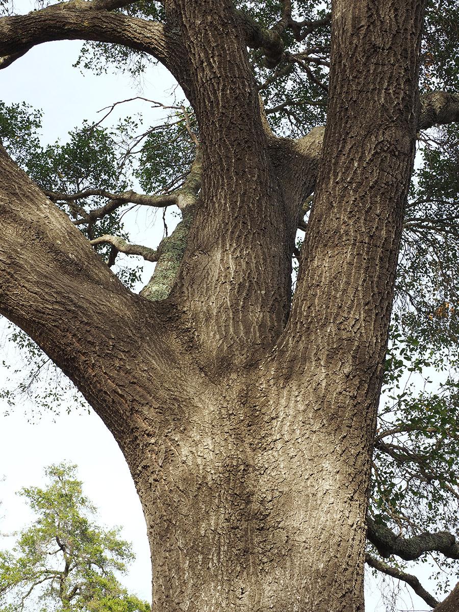 Quercus Xganderi