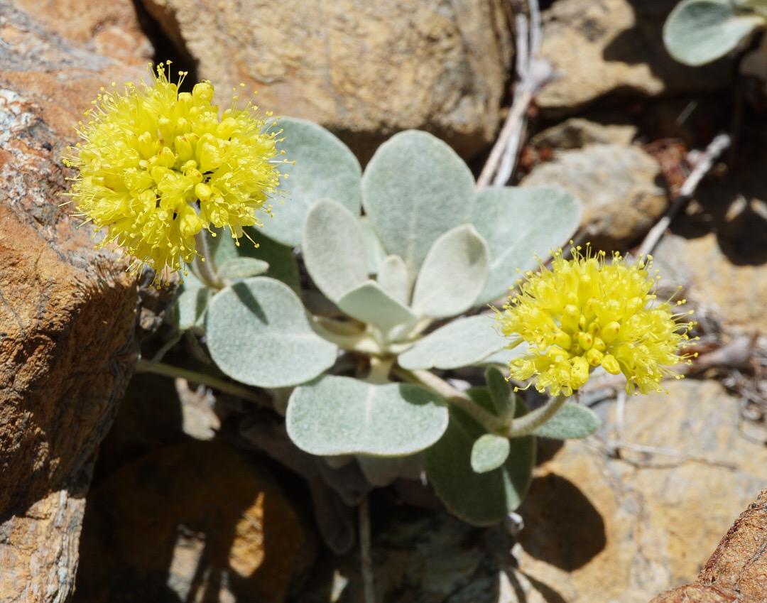 Eriogonum alpinum