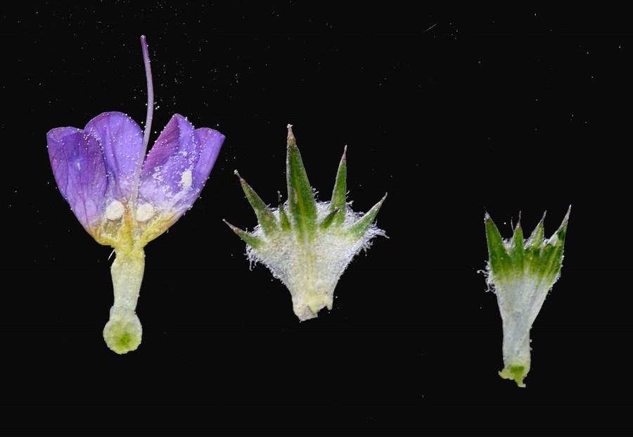 Navarretia prolifera ssp. prolifera
