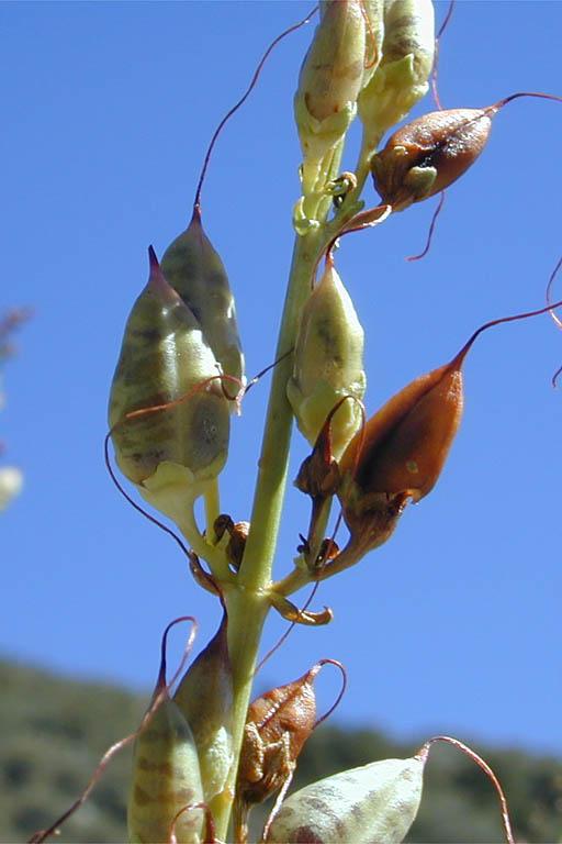 Penstemon eatonii var. eatonii