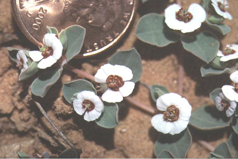 Chamaesyce albomarginata