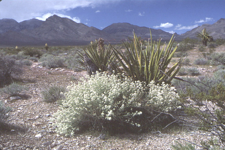 Lepidium fremontii var. fremontii