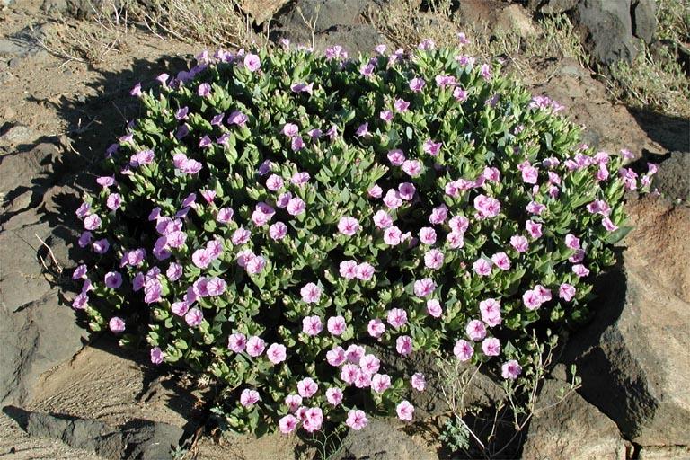 Mirabilis multiflora var. pubescens