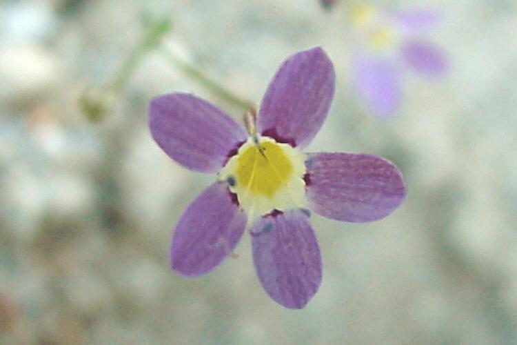 Navarretia leptalea