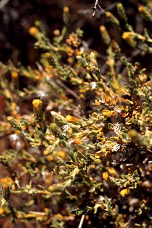 Brickellia frutescens