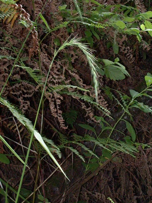 Elymus californicus