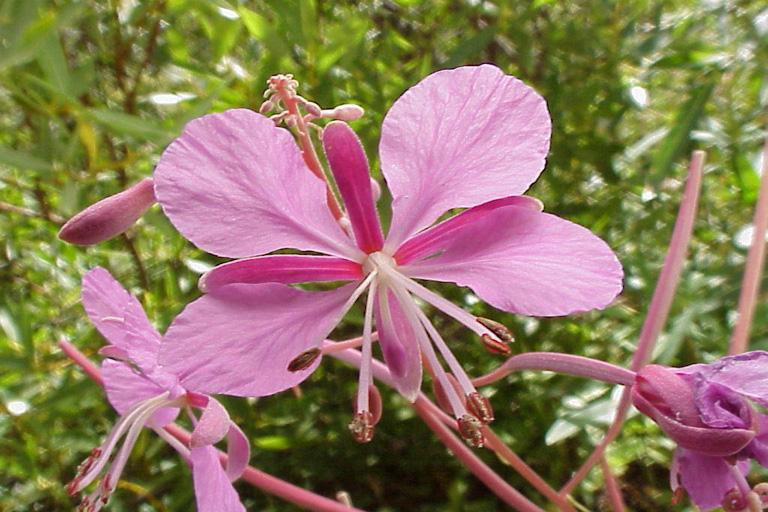 Epilobium angustifolium ssp. circumvagum