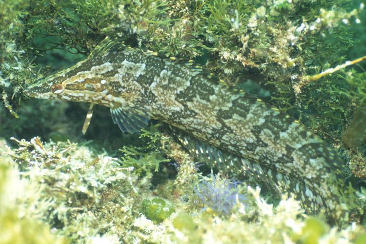 Kelpfish Camouflage