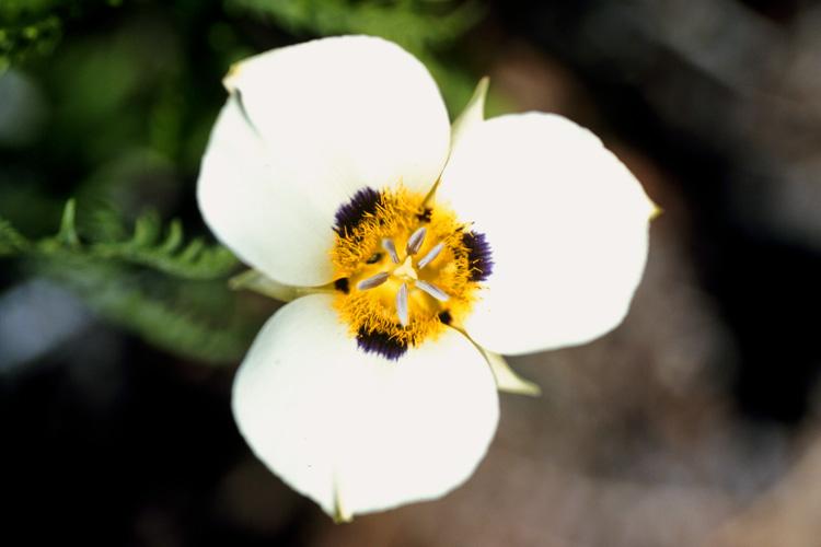 Calochortus leichtlinii
