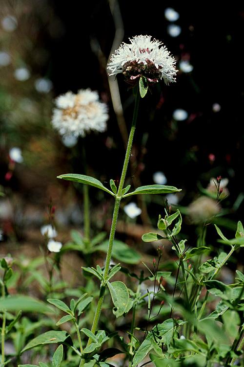 Monardella odoratissima ssp. pallida