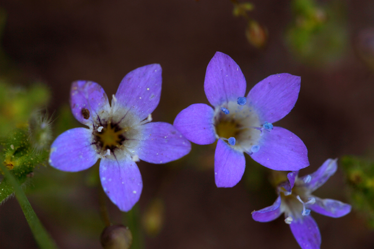 Gilia leptalea