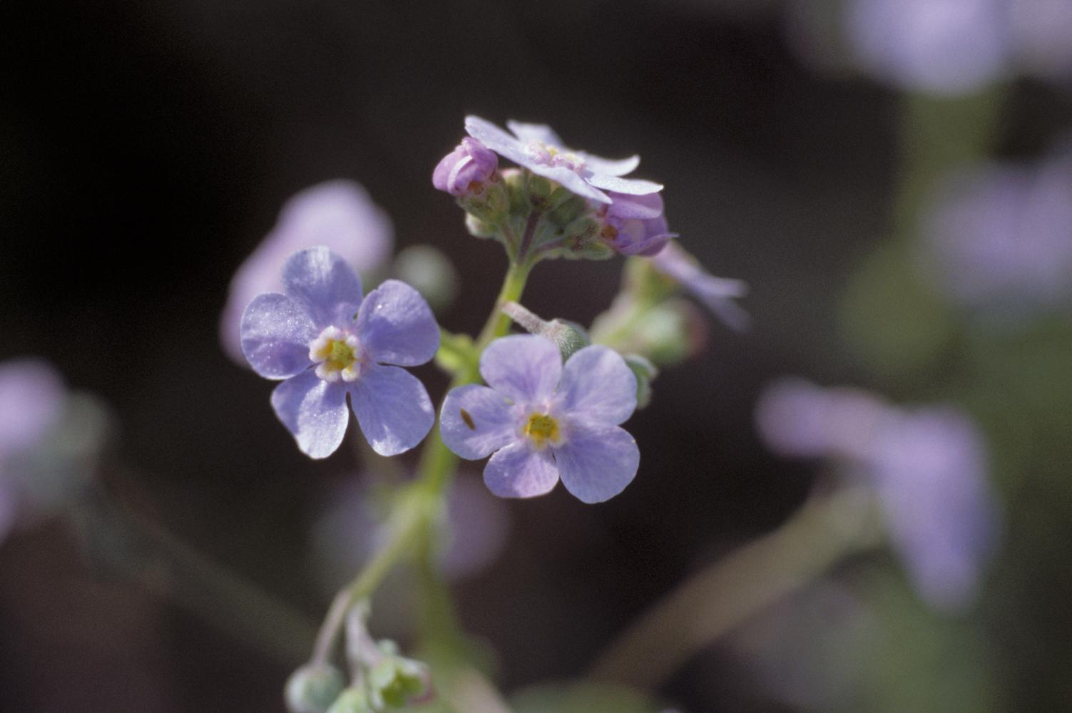 Hackelia amethystina