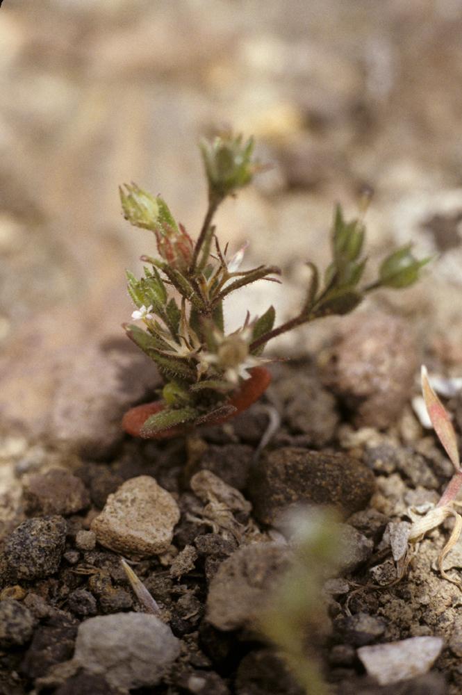 Gilia micromeria