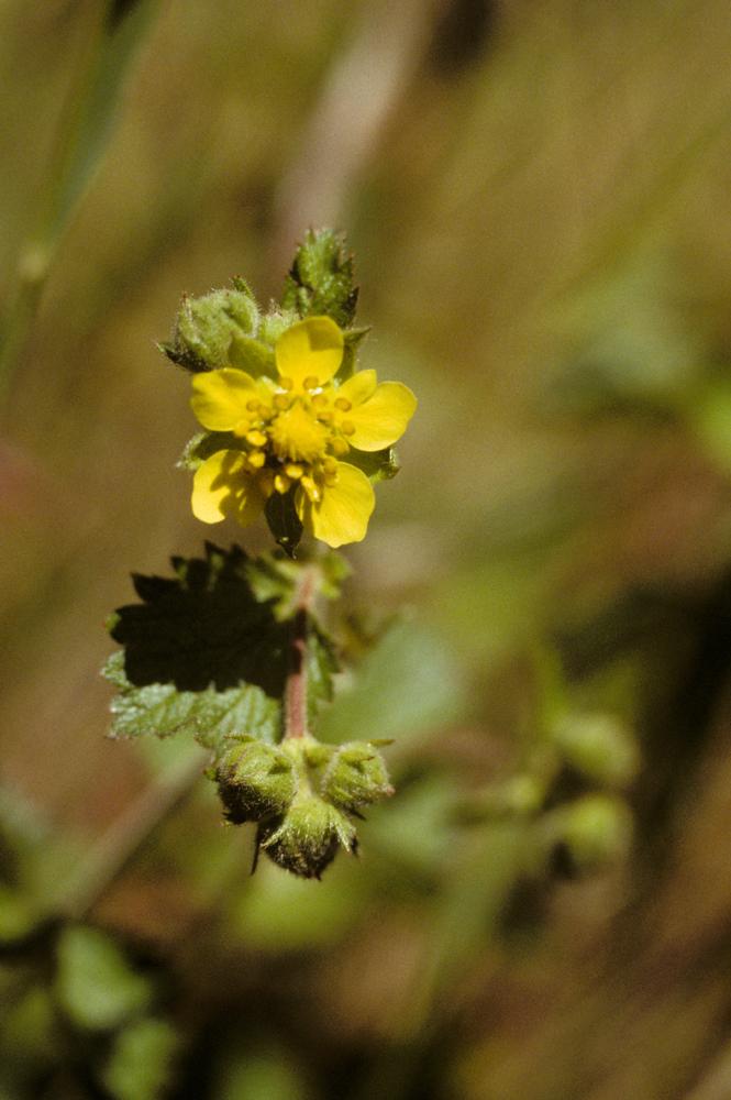 Drymocallis glandulosa var. reflexa