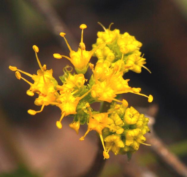 Sanicula tuberosa